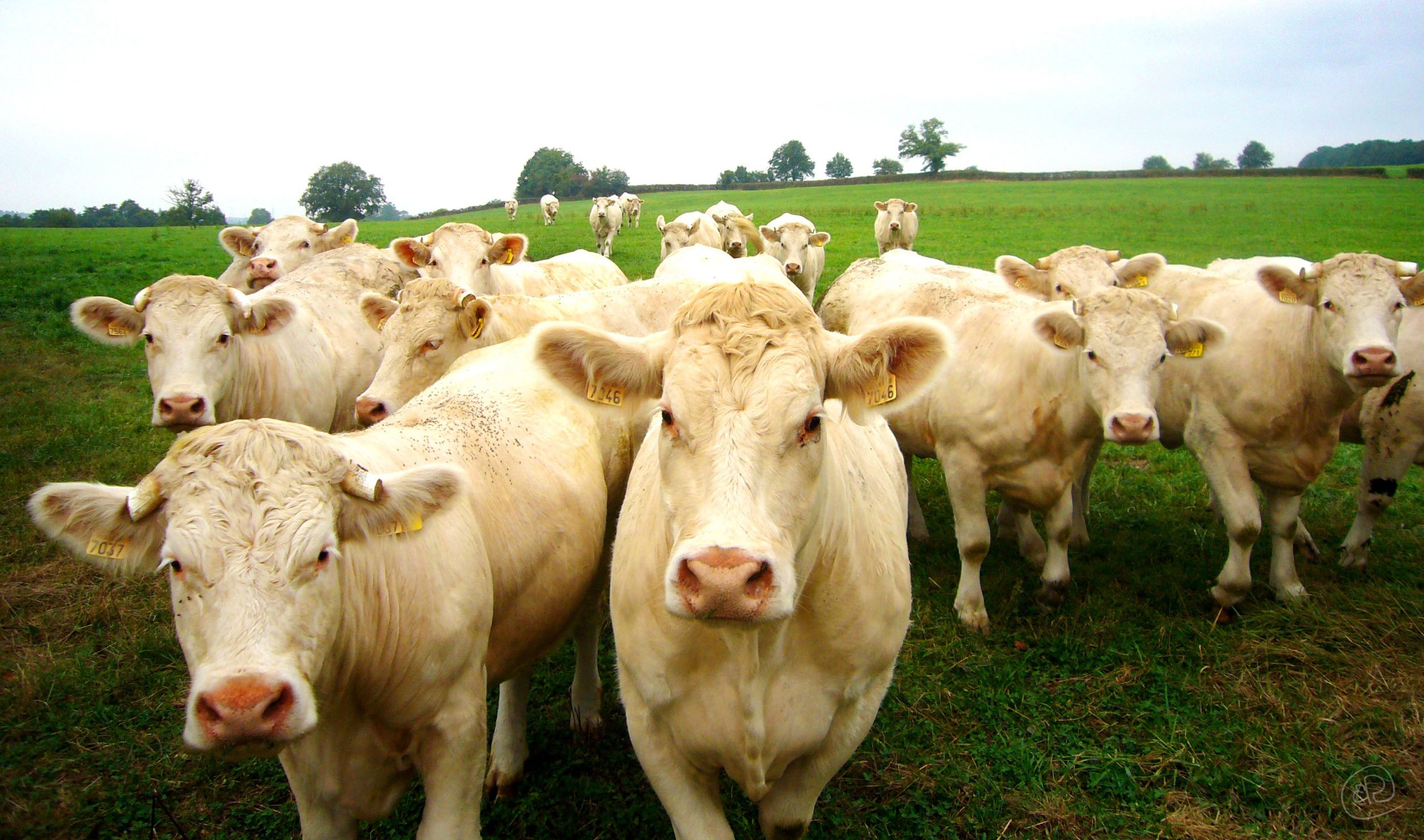 Cows WM.jpg