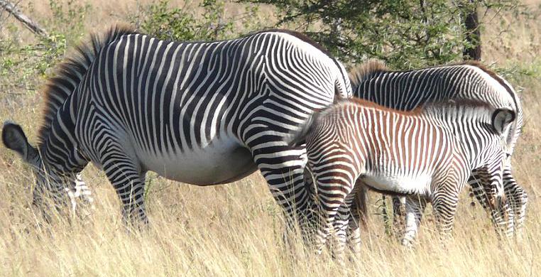 ZebrasPS.jpg