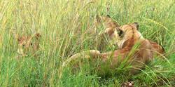 LionsPS.jpg