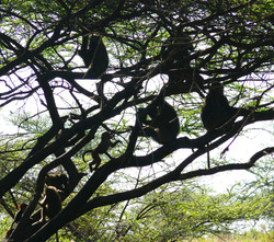 Monkeys in TreePS.jpg