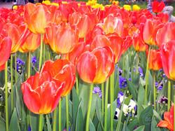 Tulips WM.jpg