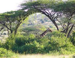 Arch w Giraffe WM.jpg