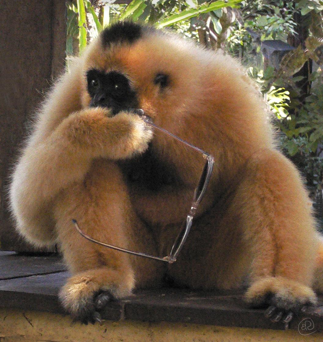 Monkey with Glasses WM.jpg