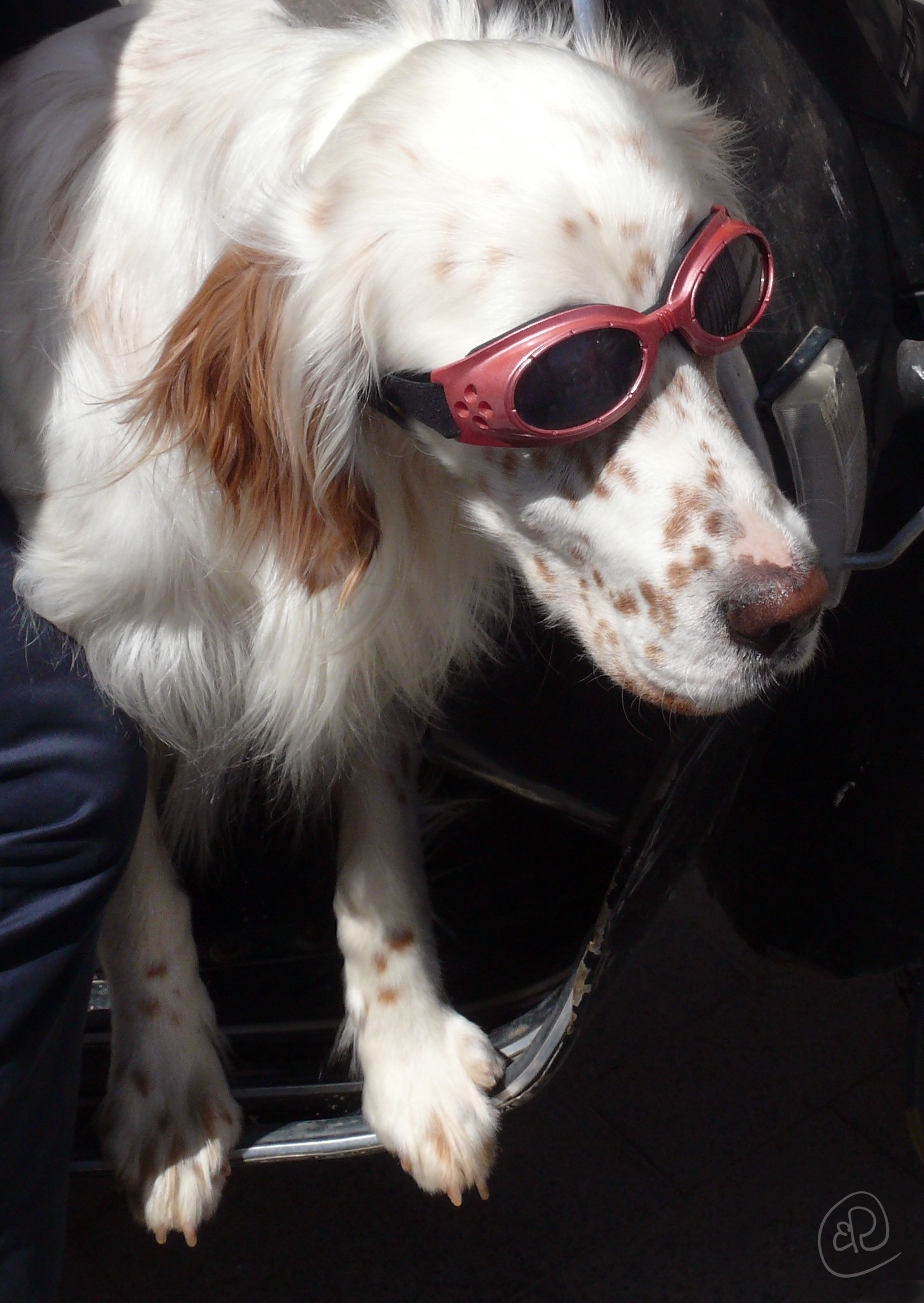 Dog with goggles WM.jpg