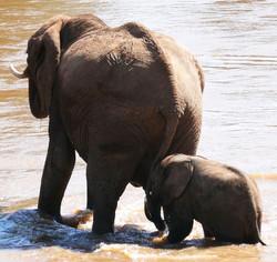 Elephant w babyPS.jpg