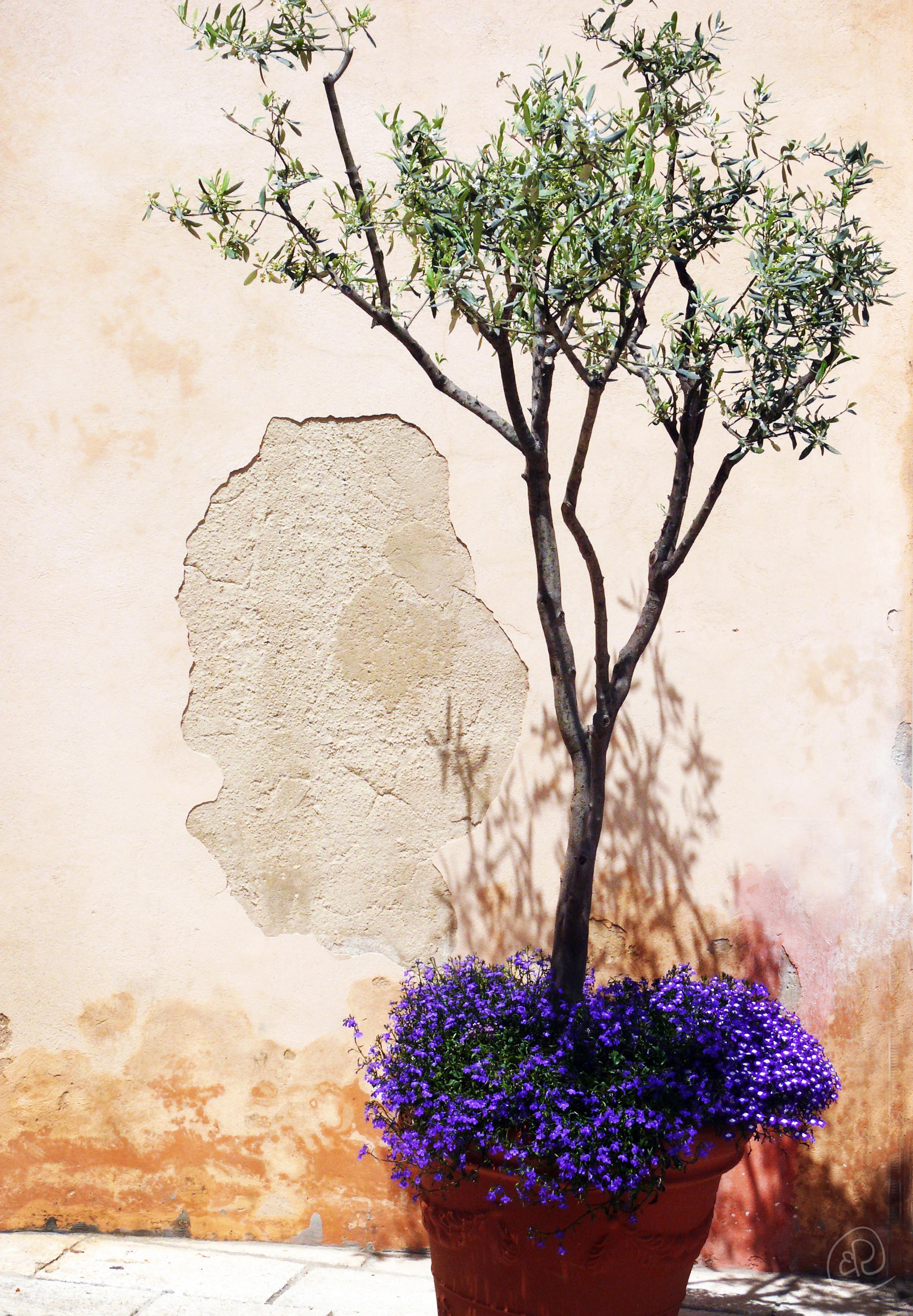 Plant in Ragusa WM.jpg