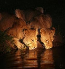 Lions WM.jpg