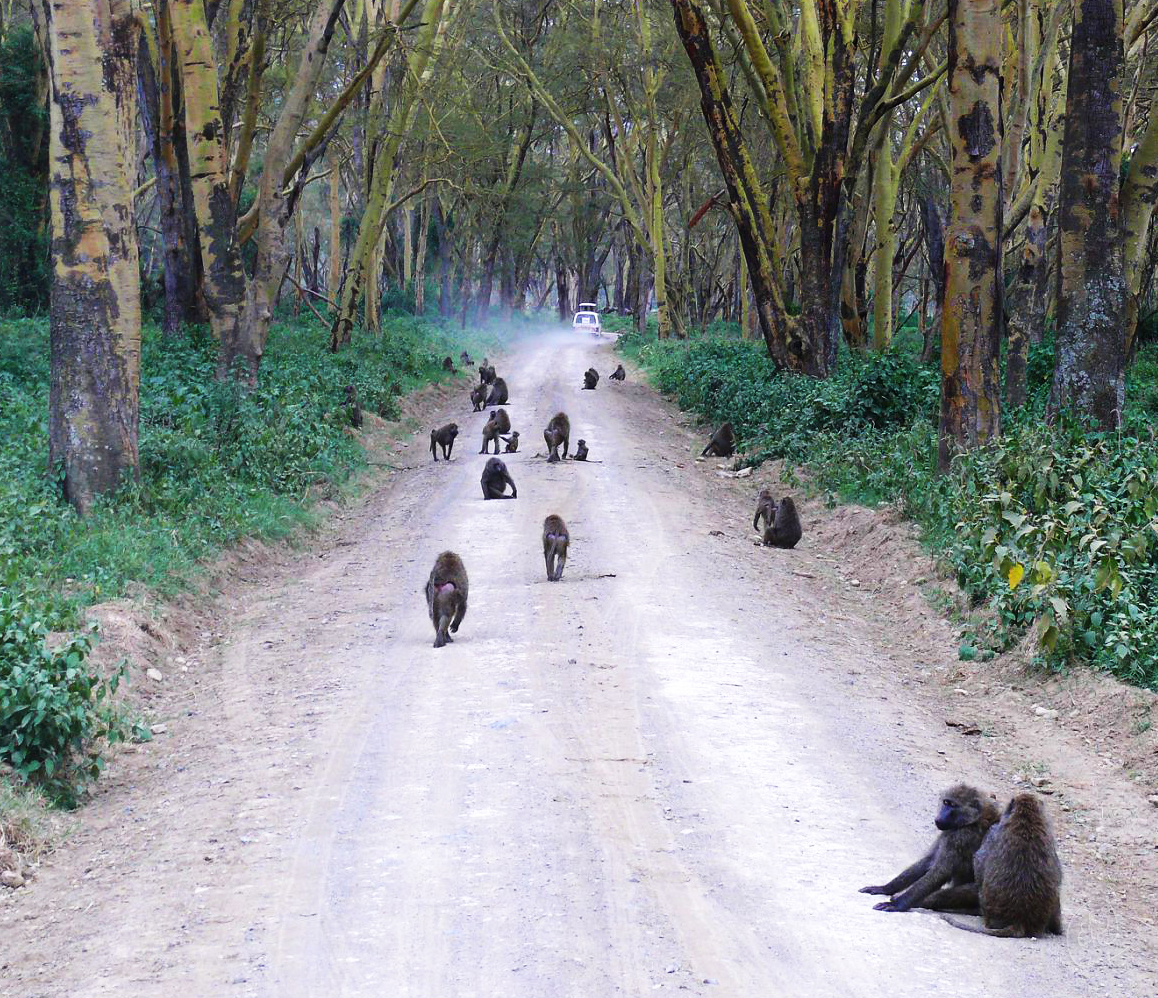Monkeys on Road WM.jpg