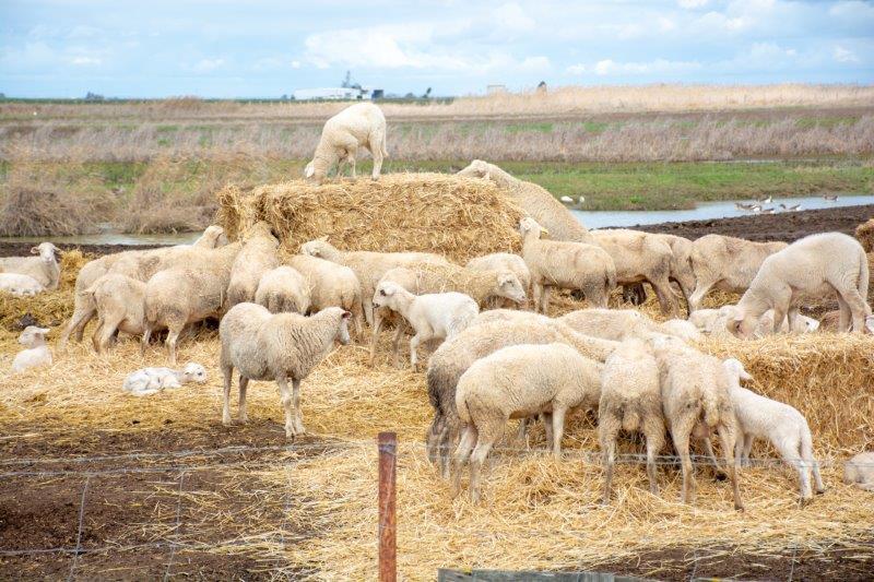 Guadalquivir ovce Potujoči brlog