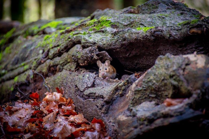 Miška Nacionalni park Ordesa Potujoči brlog