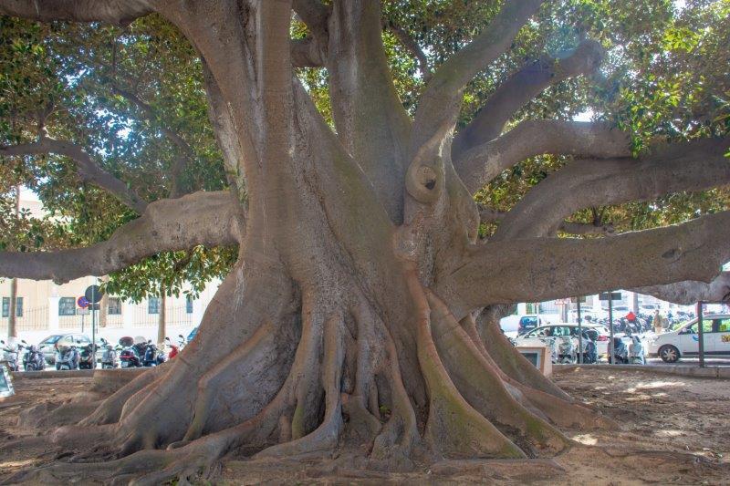 Drevo fikus Cadiz Potujoči brlog