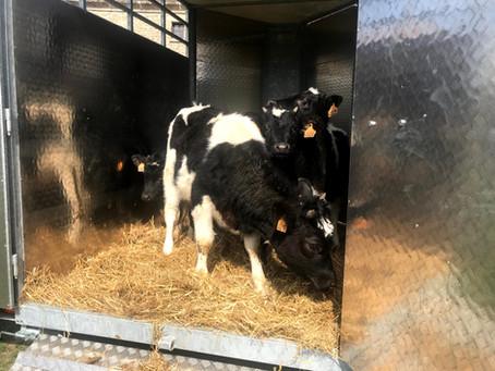 Teeny Tiny Cows!