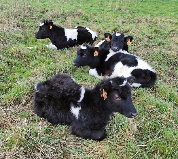 calves-lying-in-grass.jpg