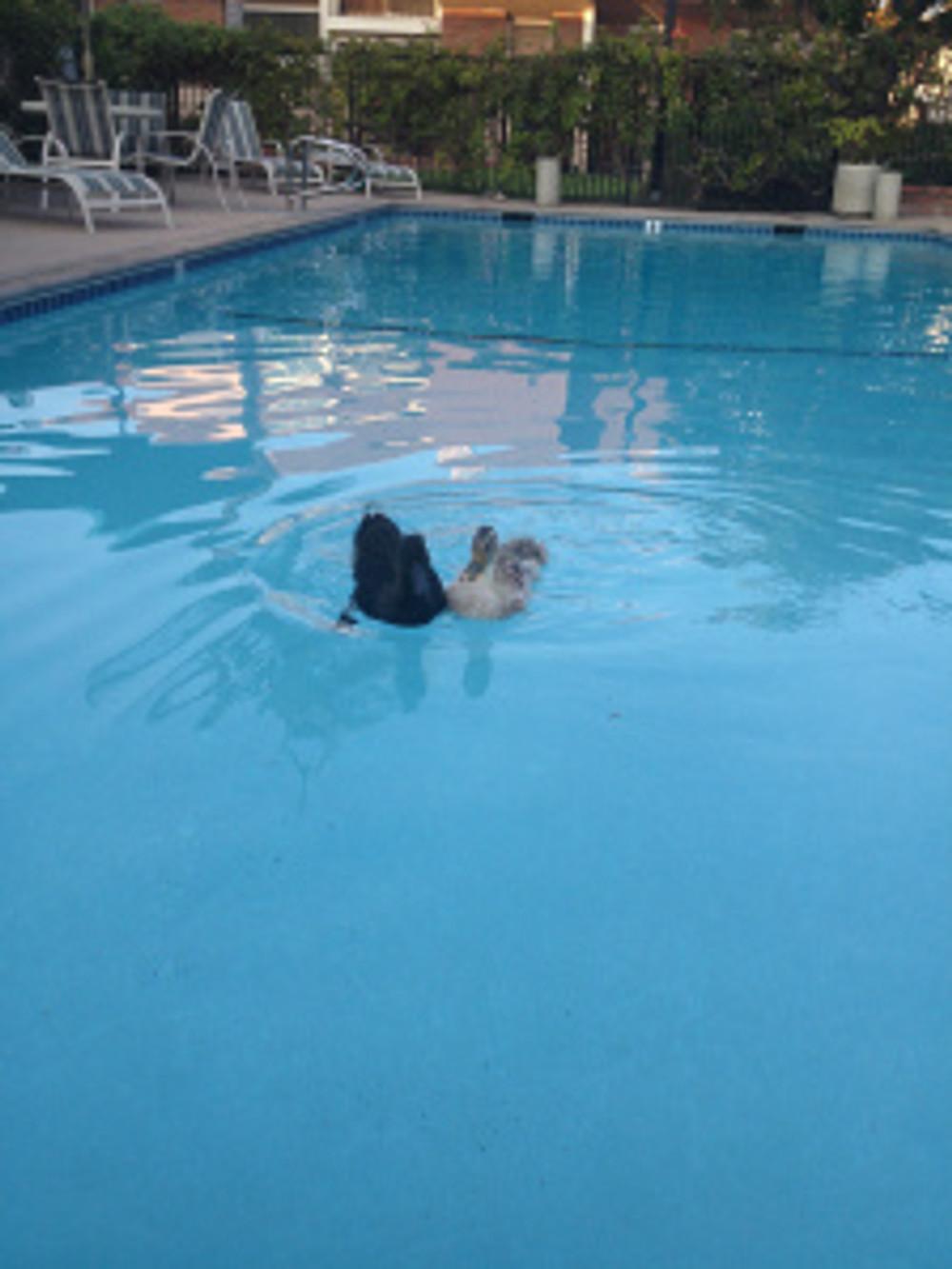 ducks-in-the-pool