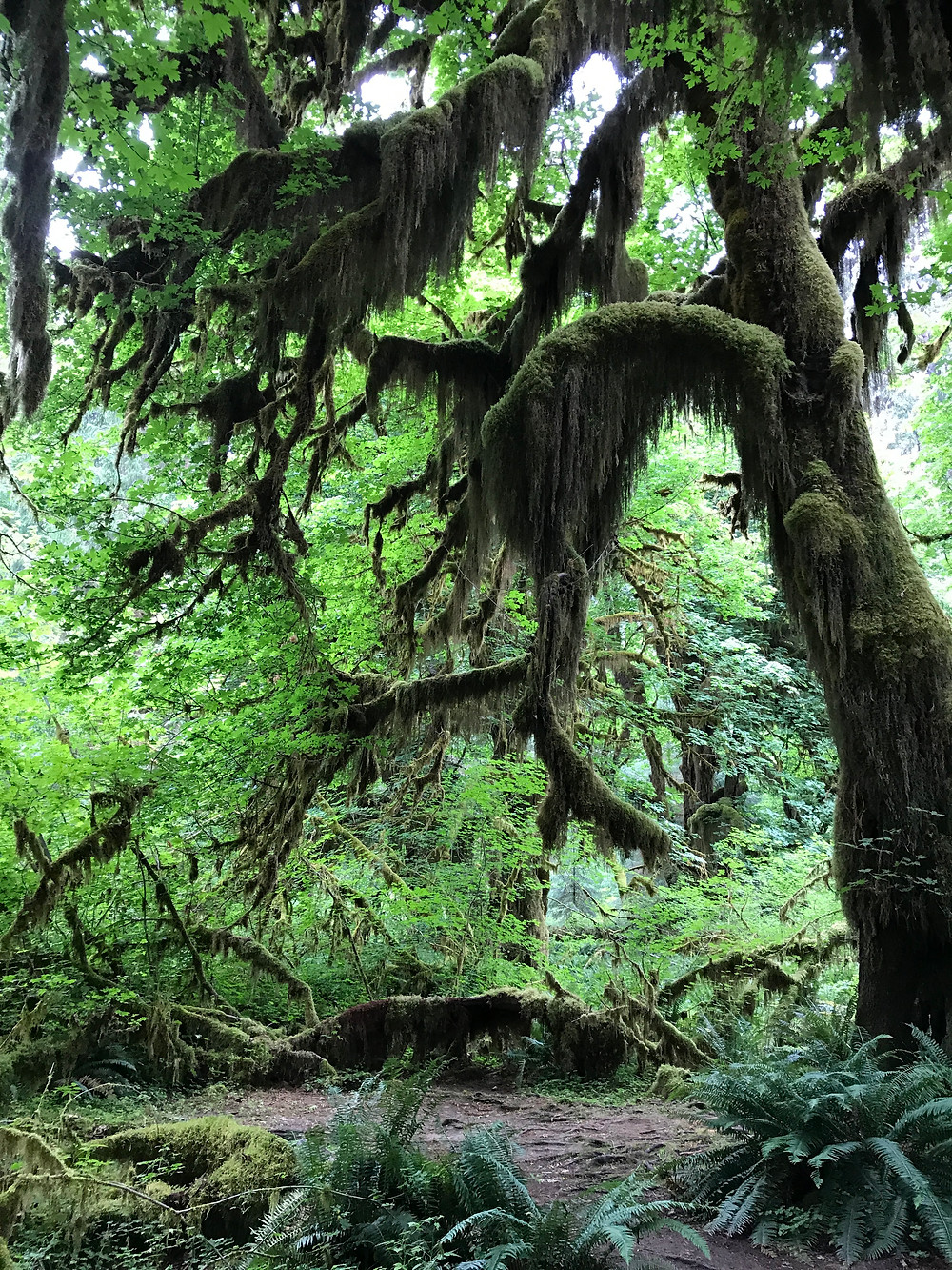 Hall of Mosses Trail in the Hoh Forest, Olympic National Park