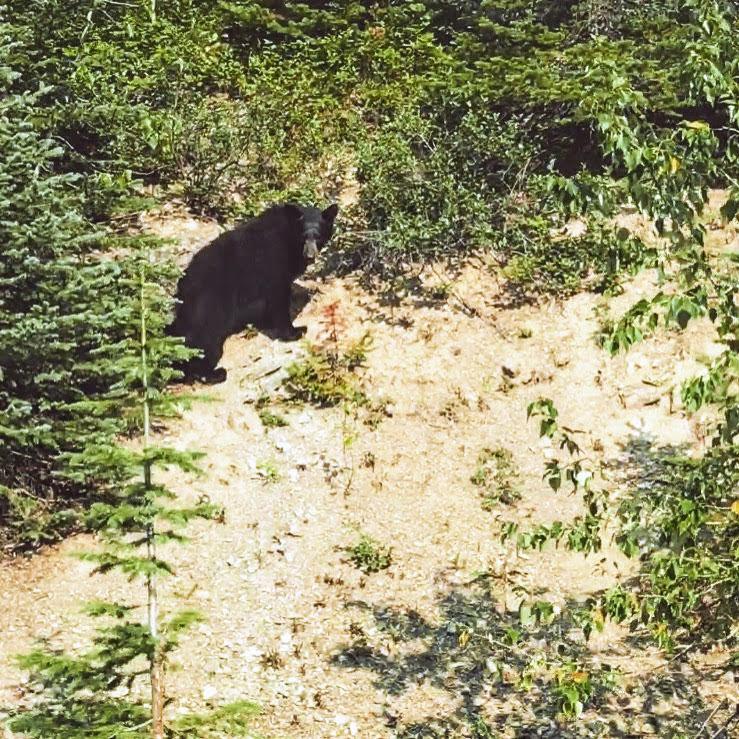 Tagged mama bear at Waterton Lakes National Park in Canada