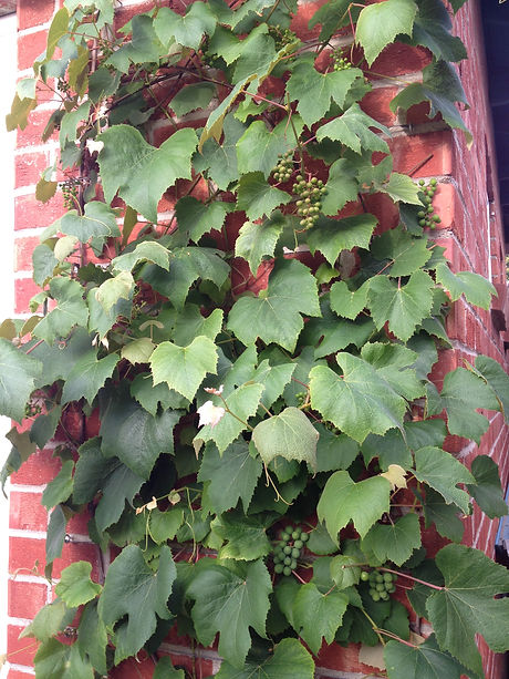 grapes-growing-up-wall.jpg