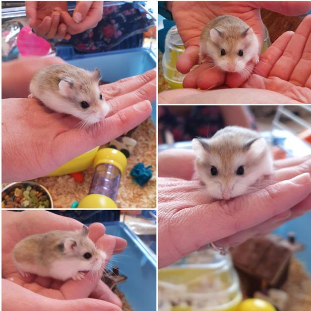 4x Roborovski Dwarf Hamsters