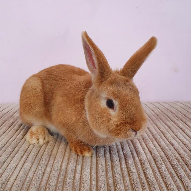 Beautiful Male Rabbit £50 adoption fee