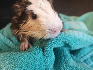 Grooming your Guinea Pig