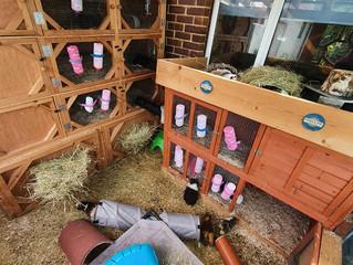 Guinea Pigs - Summer Care