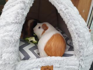 Guinea Pigs - Winter Care