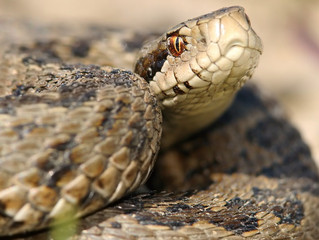 Dogs and Adders - Keeping Safe