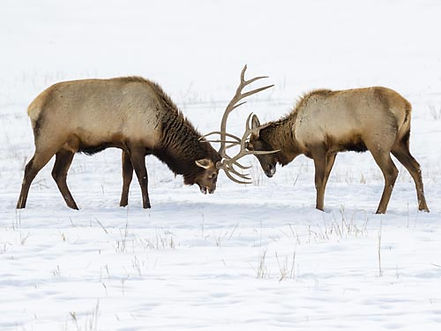 Two bull elk near Brooks Lake Lodge, an all-inclusive luxury resort near Yellowstone