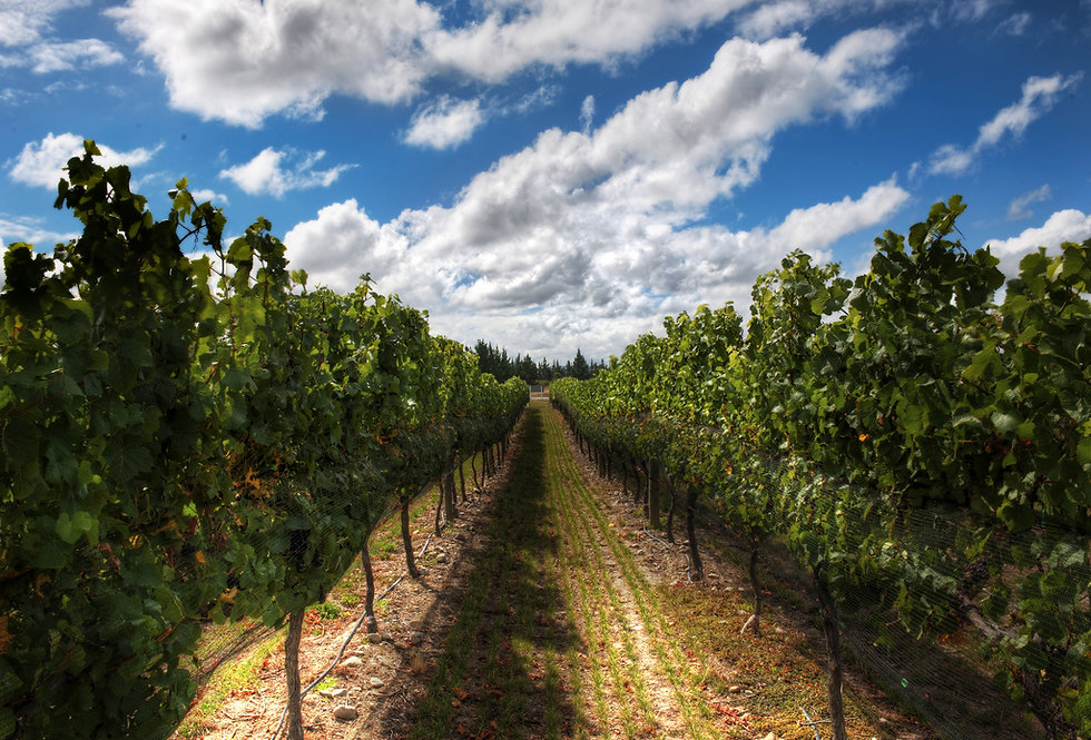 саженцы винограда в беларуси