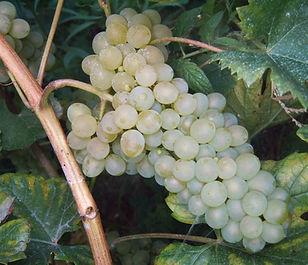 Морозоустойчивый виноград, винный