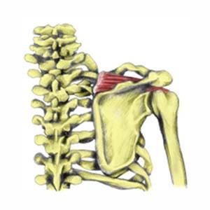 http://www.sportsinjuryclinic.net/anatomy/human-muscles/supraspinatus