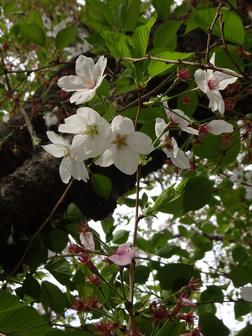 おしらせ と 葉桜