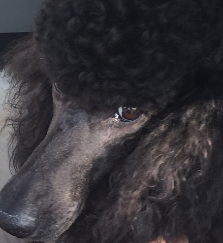 Close up of female black poodle.