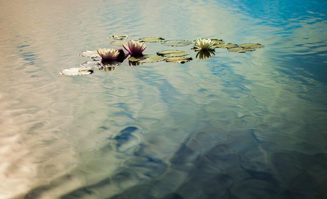 """""""Just like the lotus we too have the ability to rise from the mud, bloom out of the darkness and radiate into the world."""" – Unknown"""
