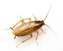 German cockroach pest control in cleveland