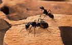 carpenter ant control cleveland