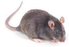 rat exterminator cleveland
