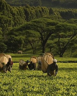Tea malawi.jpg