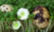 quail-egg-3249384_1280.jpg