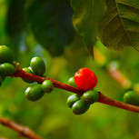 Coffee Estate is for sale in Coorg