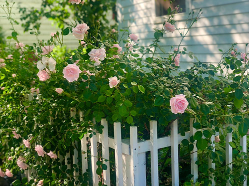 Roses and white fence.