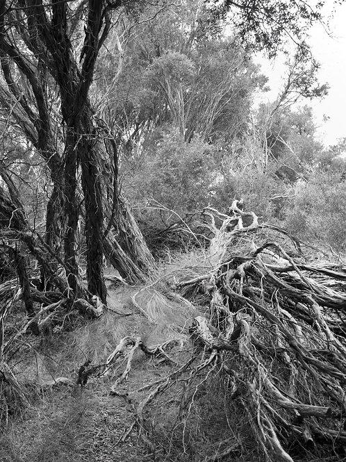 Fallen Tree on Coastal Victoria.
