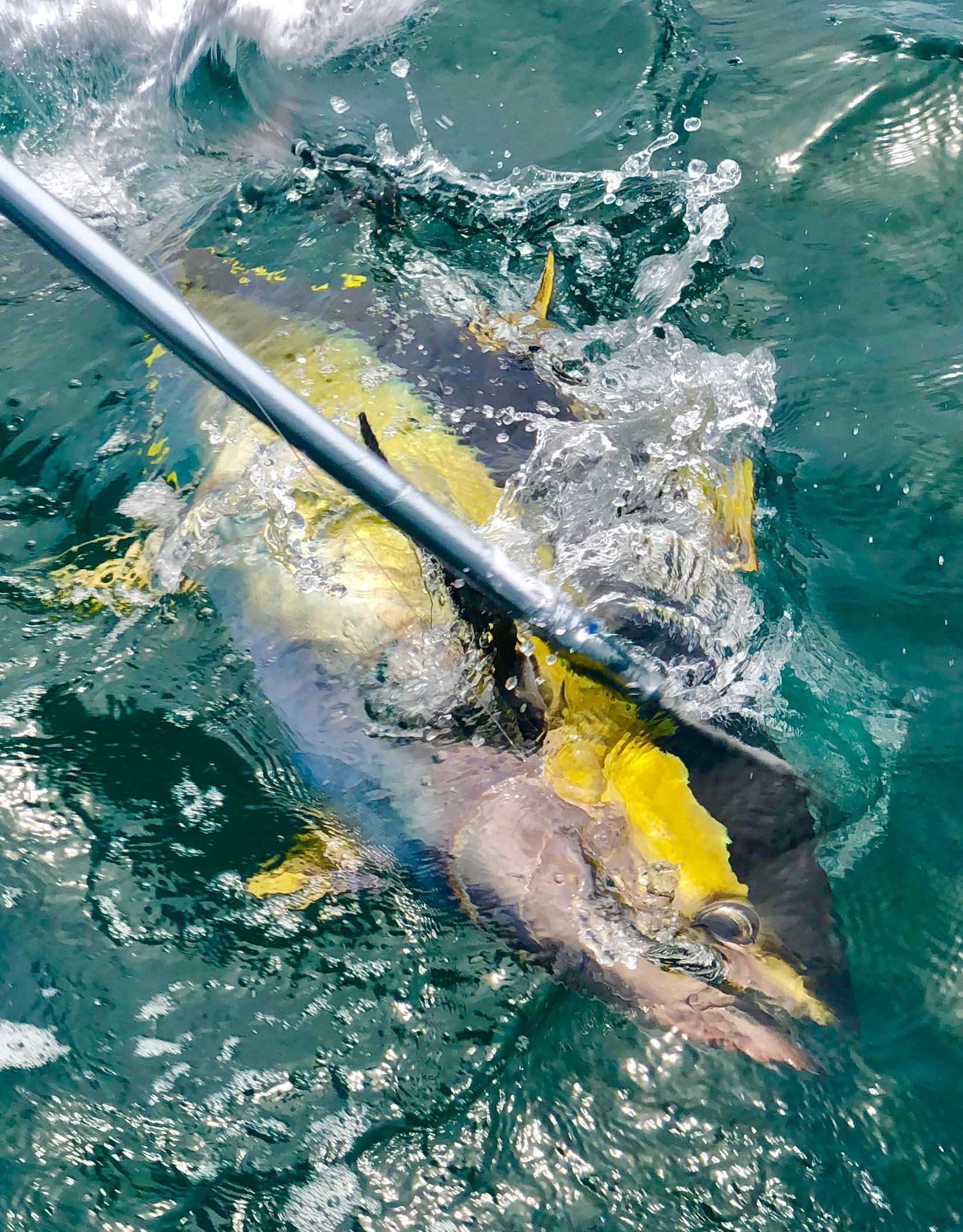 yellowfin gaff