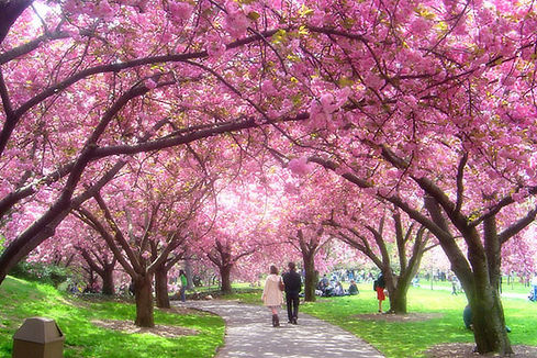 15-best-time-cherry-blossoms-brooklyn-bo