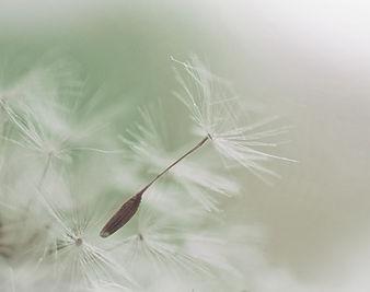 Pissenlit Parachute semences