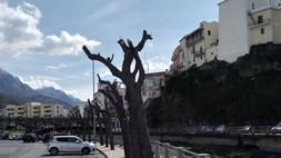 """Diamante, alberi """"capitozzati"""": la protesta degli ambientalisti"""