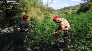 Scalea, arresti convalidati per i due che avevano realizzato una piantagione di cannabis
