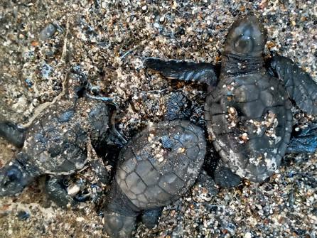 Nuovi nati nella spiaggia di Grisolia, si schiudono le uova della caretta caretta