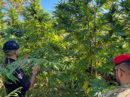 Gioia Tauro, piantagione di marijuana: tre arresti