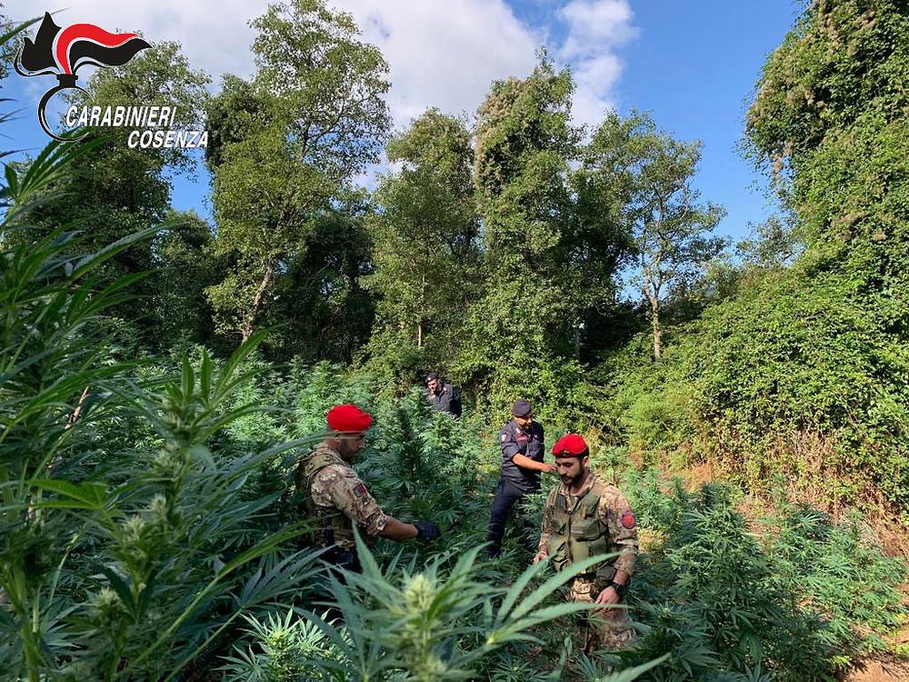 Cetraro piantagione marijuana